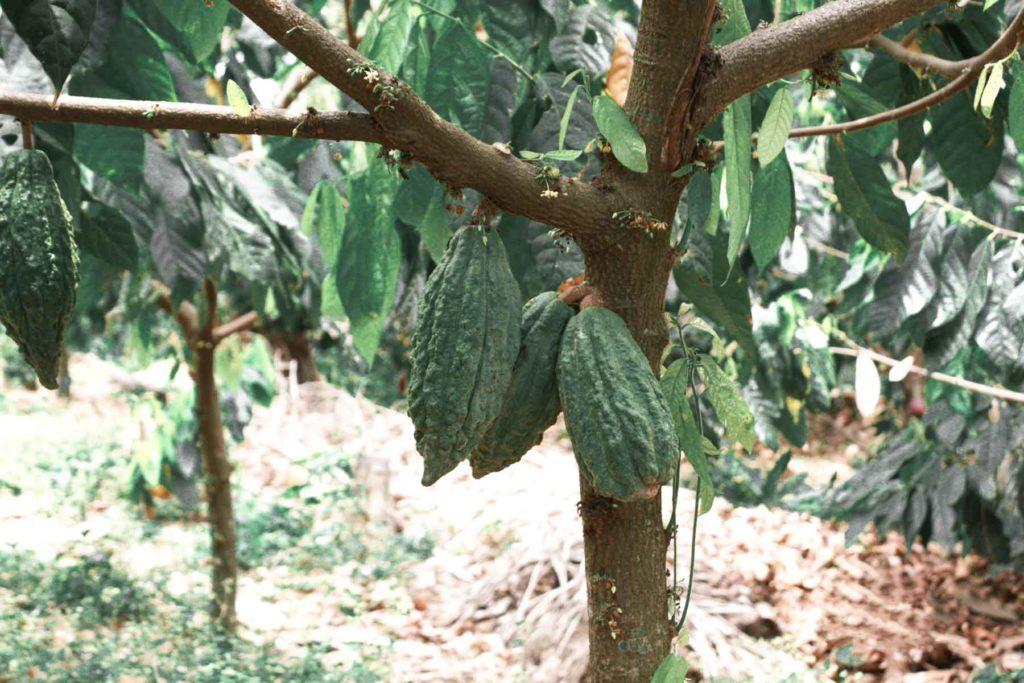 produzione etica e sostenibile di cacao. Vai Cacao